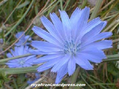 chicory-augu The Aster Family